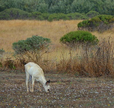 Photograph -  Grazing White Fawn by Carla Parris
