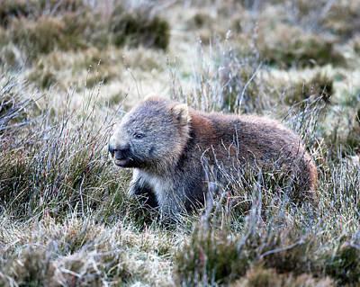 Photograph - Grazing Wombat by Nicholas Blackwell