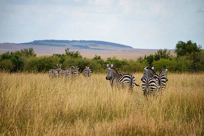 Photograph - Grazing Zebras by Balram Panikkaserry
