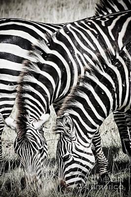 Grazing Zebras Close Up Art Print by Darcy Michaelchuk