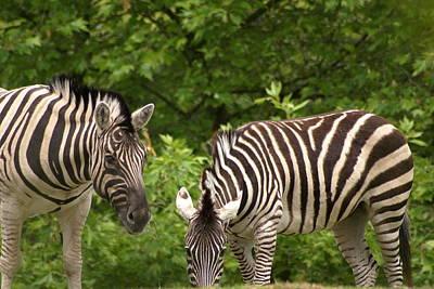 Grazing Zebras Art Print by Sonja Anderson