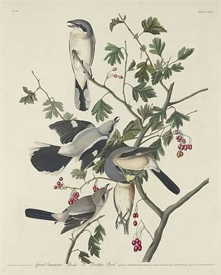 Great American Shrike Or Butcher Bird Art Print