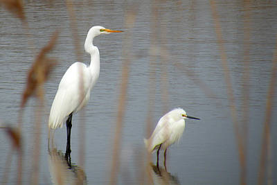 Great And Snowy Egret Art Print by Donald Cameron