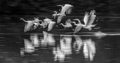 Photograph - $200 - 20x10  Metal - Egrets Ghostly Flight 1263-011518-6-bw by Tam Ryan