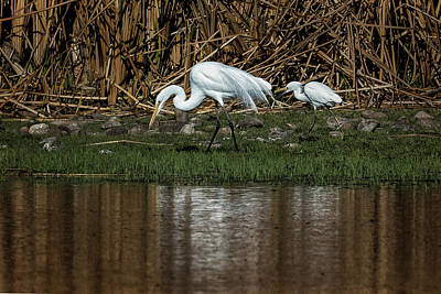Photograph - Great And Snowy Egrets, No. 2 by Belinda Greb