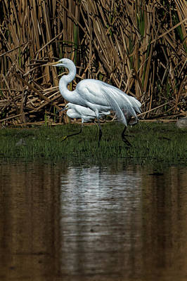 Photograph - Great And Snowy Egrets, No. 3 by Belinda Greb