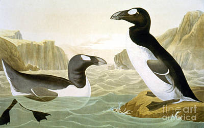 Photograph - Great Auk (alka Impennis): by Granger