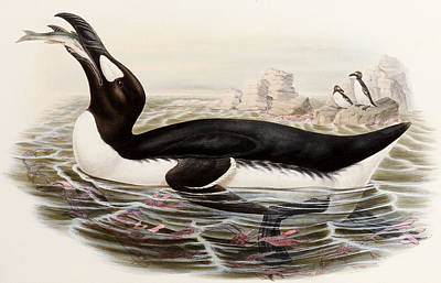 Swallow Drawing - Great Auk by John Gould