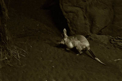 Photograph - Great Bilby In Monotone by Miroslava Jurcik