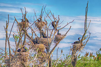 Photograph - Great Black Cormorants Colony - Danube Delta by Jivko Nakev