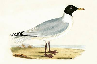 Gull Seagull Painting - Great Black Headed Gull by English School