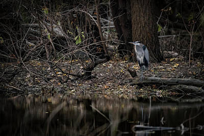 Photograph - Great Blue At Shore by Ray Congrove