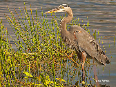 Photograph - Great Blue At The Park by Don Durfee