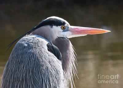 Photograph - Great Blue Beauty by Anita Oakley