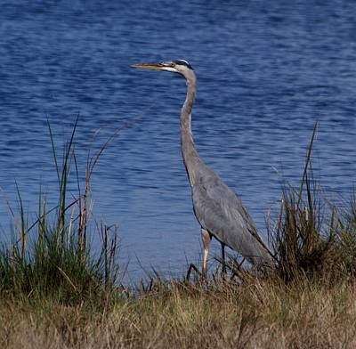 Photograph - Great Blue by Bruce W Krucke