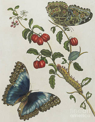 Fluttering Painting - Great Blue Butterflies And Red Fruits by Maria Sibylla Graff Merian
