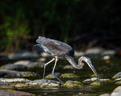 Photograph - Great Blue Feeding by Bill Wakeley