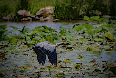 Photograph - Great Blue Flight Two by Ray Congrove