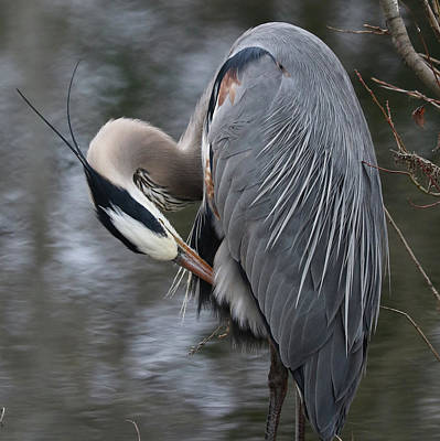 Photograph - Great Blue Grooming by Doris Potter