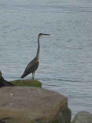Photograph - Great Blue Heron - 1 by Jeffrey Peterson