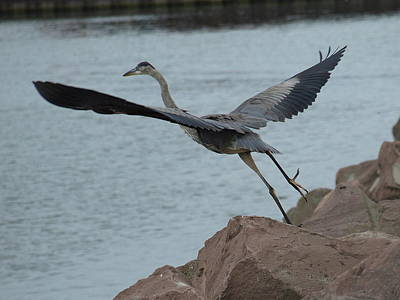 Photograph - Great Blue Heron - 2 by Jeffrey Peterson