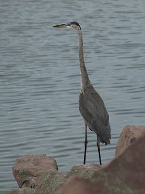 Photograph - Great Blue Heron - 3 by Jeffrey Peterson