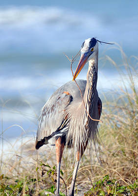 Great Blue Heron - Nesting Art Print by Rose  Hill