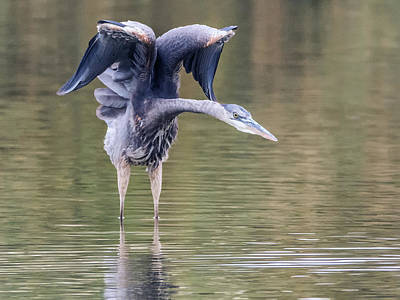Photograph - Great Blue Heron 0311-120517-1cr by Tam Ryan