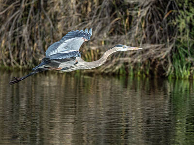 Photograph - Great Blue Heron 0959 by Tam Ryan