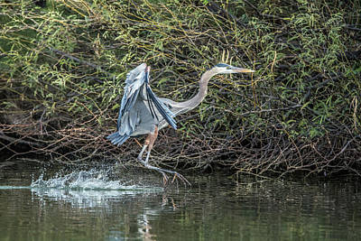 Photograph - Great Blue Heron 0962 by Tam Ryan