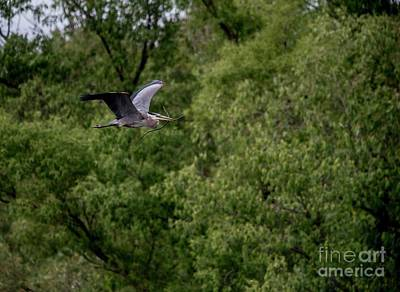 Photograph - Great Blue Heron 11 by David Bearden