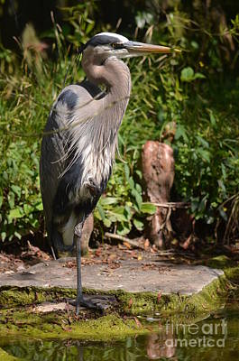 Photograph - Great Blue Heron 16-01 by Maria Urso
