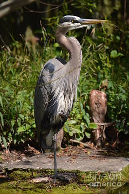 Photograph - Great Blue Heron 16-02 by Maria Urso