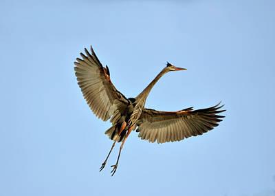 Photograph - Great Blue Heron  2 by Ann Bridges