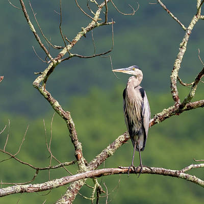Photograph - Great Blue Heron 2 by Bill Wakeley