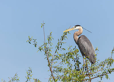 Photograph - Great Blue Heron 2018-1 by Thomas Young