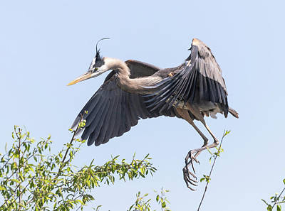 Photograph - Great Blue Heron 2018-3 by Thomas Young