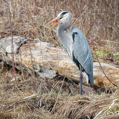 Photograph - Great Blue Heron 2018 Square by Bill Wakeley