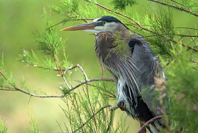Photograph - Great Blue Heron 4799-040518-1cr by Tam Ryan