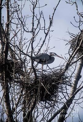 Photograph - Great Blue Heron - 5 by David Bearden