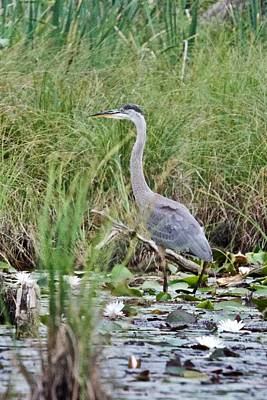 Photograph - Great Blue Heron 6056 by Michael Peychich