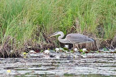 Photograph - Great Blue Heron 6180 by Michael Peychich
