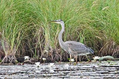 Photograph - Great Blue Heron 6209 by Michael Peychich