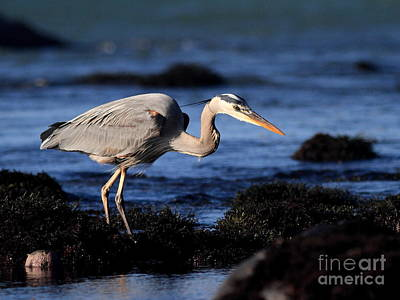 Bif Photograph - Great Blue Heron . 7d4745 by Wingsdomain Art and Photography