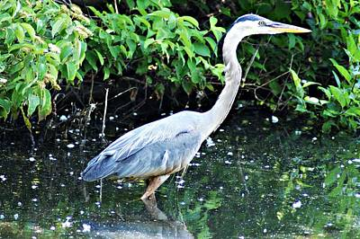 Photograph - Great Blue Heron A by Joe Faherty