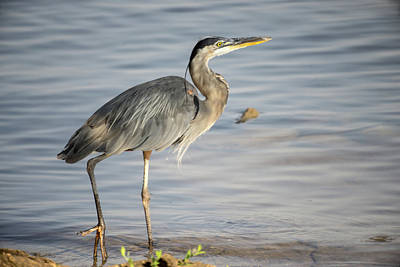 Photograph - Great Blue Heron About To Go Fishing by Douglas Barnett