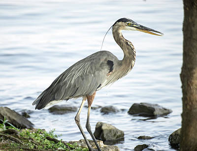 Photograph - Great Blue Heron About To Go Wading by Douglas Barnett
