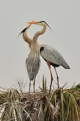 Photograph - Great Blue Heron Affection by Alan Lenk