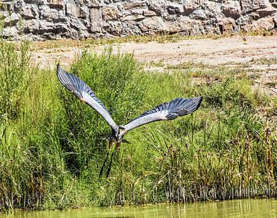 Photograph - Great Blue Heron by Allen Sheffield