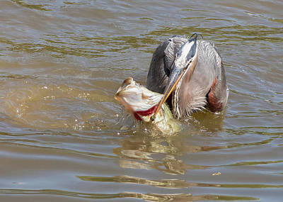 Photograph - Great Blue Heron And Bass - Catch by Ron Grafe